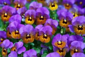 hilltop garden center croton flowers